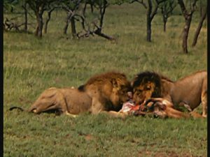 lions-feeding-in-the-wild