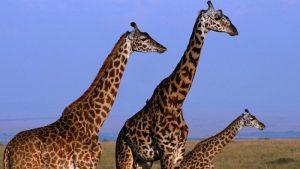 tall-can-giraffe